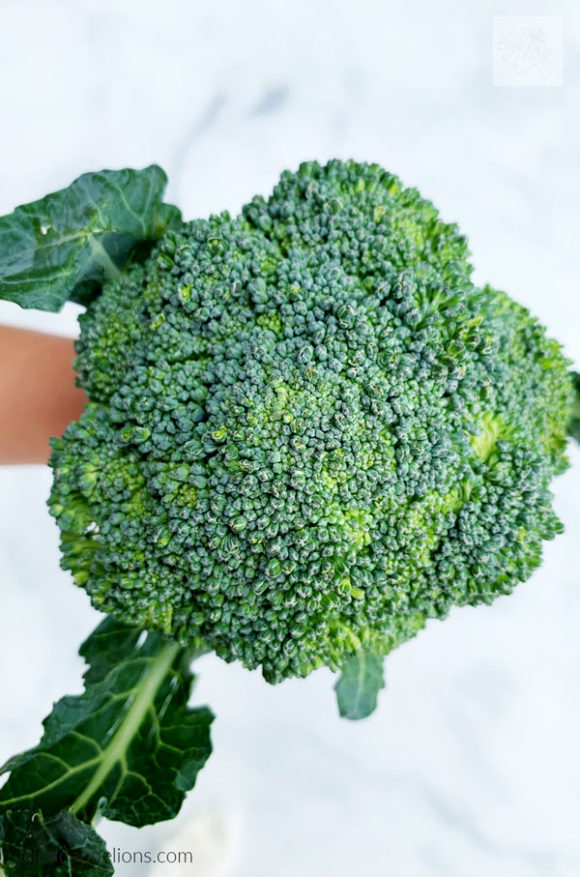 head of broccoli from CSA box on white background