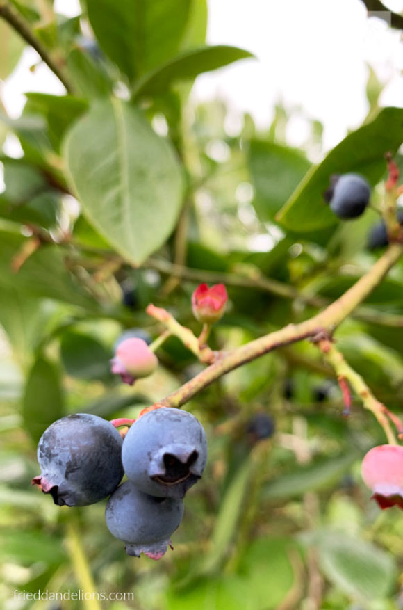 close up of blueberry growing on a blueberry bush with foliage in the background